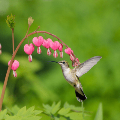 humminbird with pink flowers